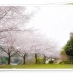 京都でお花見バーベキューができる場所は?開花時期も紹介!