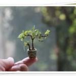 ミニミニ盆栽とは?初心者でも簡単な作り方やおすすめ植物について!