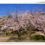 大阪でお花見バーベキューができる場所は?開花時期も紹介!