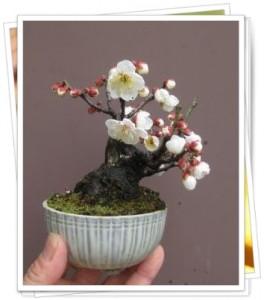 ミニミニ盆栽梅