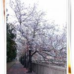 大阪の開花予想2017はいつ頃?穴場のお花見スポットは!
